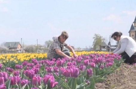 Через карантин український фермер знищив два мільйони тюльпанів (ВІДЕО)
