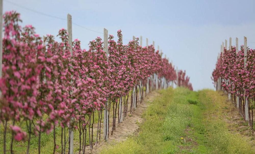 Фермерське господарство «ГАДЗ» цього року висадить 250 тисяч дерев нового саду