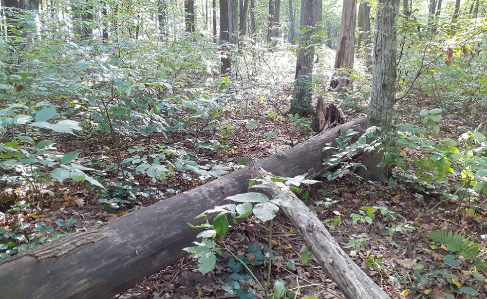 Врахували попередні злочини: на Бережанщині чоловік зрубав два дерева і отримав три роки тюрми